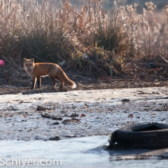 A red fox on a polluted bank of the Anacostia River.