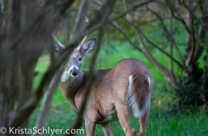 A white-tailed deer in the Anacostia watershed.