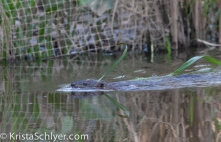A muskrat in the Anacostia River.