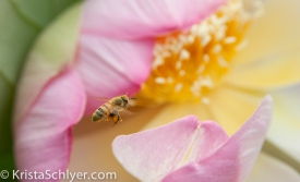 Bee perusing a lotus flower, Kennilworth Aquatic Gardens, Washington DC.