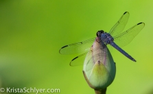 Dragonfly in the Anacostia Watershed.