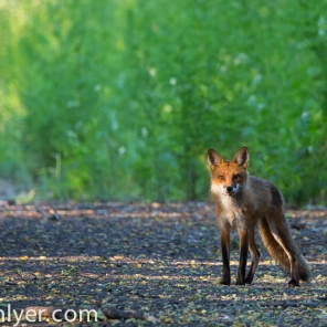 Red fox, Kingman Island, Washington DC.