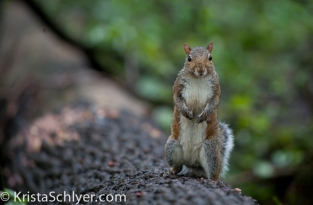 A squirrel in the Anacostia watershed.