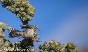 21. Cactus wren hopping onto cholla cactus.