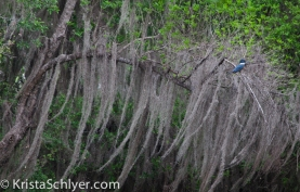 81. A ringed kingfisher in Santa Ana National Wildlife Refuge.