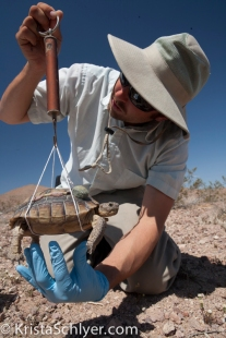 Researcher weighing desert tortoise.