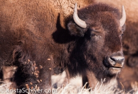 101. Bison in Janos, Chihuahua.