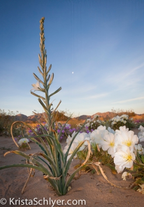 8. Ajo lily and desert primrose at dawn.