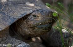 9. A desert tortoise