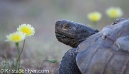 16. Desert tortoise with desert dandelion.