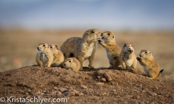 Prairie dog family in northern Chihuahua Mexico.