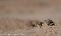 38. Burrowing owls in the Imperial Valley of California.