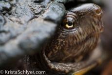 32. A mud turtle