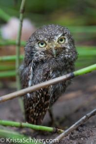 30. An elf owl.