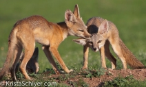 49. One of the many species that benefits from prairie dogs are kit foxes.