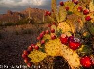 15. A prickly pear cactus with fruit in Organ Pipe Cactus National Monument.