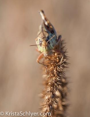 Grasshoppers constitute a diverse micro-community in grassland ecosystems.