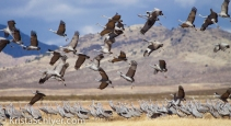 59b. Sandhill cranes in the Chihuahuan grasslands.