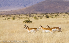 104. Pronghorn running in the Chihuahuan grasslands in Texas.