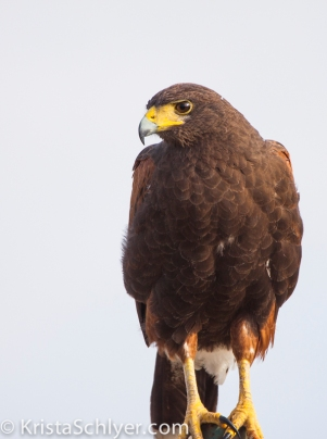 81. Harris's Hawk in South Texas.