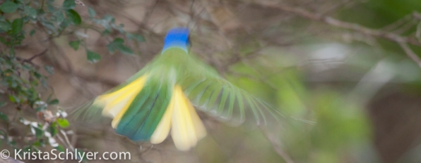 154. A green jay flying in South Texas.