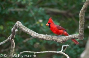 73. Northern Cardinal