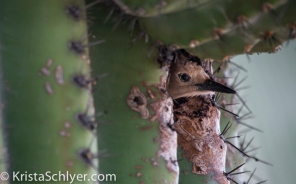 7. A gila woodpecker in a saguaro cactus cavity.