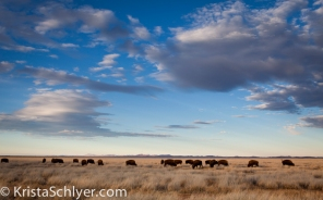 Bison herd in the Chihuahuan grasslands.