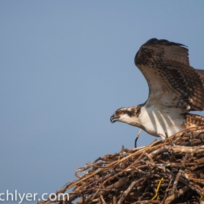 An osprey in its nest on the Anacostia River.