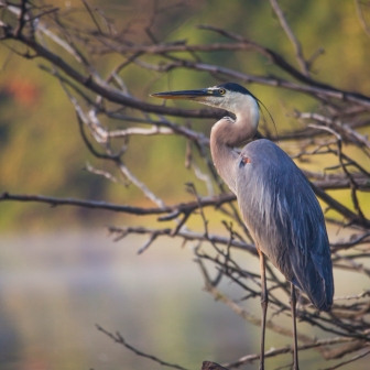 Great blue heron on the Anacostia River.