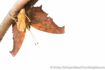 Question mark butterfly emerging
