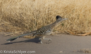 Roadrunner in Big Bend National Park