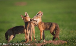 Kit foxes
