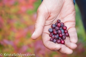 Huckleberries in proposed wilderness, Clearwater basin, Idaho