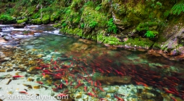 Salmon spawn in Clearwater National Forest, Idaho