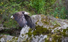 Bald eagle in Clearwater National Forest, Idaho