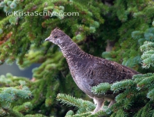 Dusky grouse, Clearwater National Forest