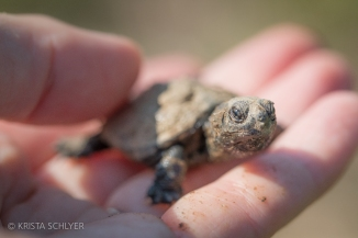 Baby turtle in the Anacostia River watershed.
