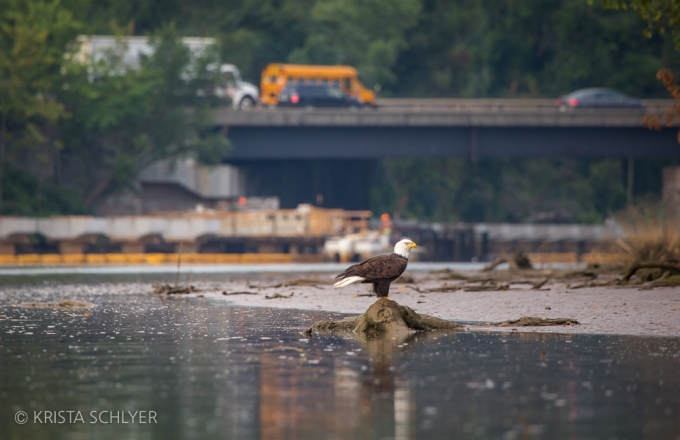 A bald eagle on the Anacostia River, Washington DC.
