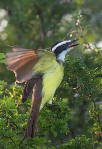 Great kiskadee with a granjeno berry